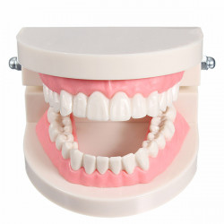 1 Pack Dental Dentist Teeth Tooth Teach Model Pink Flesh Gums